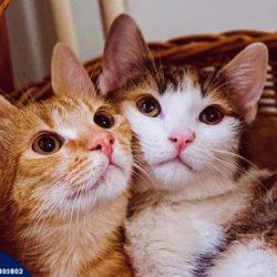 Kocia białaczka i koci HiV